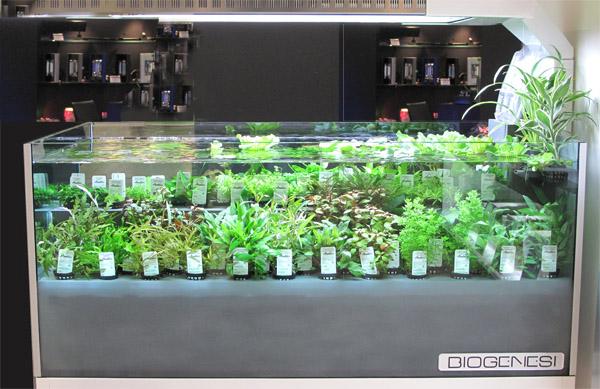 Biogenesi per non gettare le piante in vasca anubias for Piante da acquario