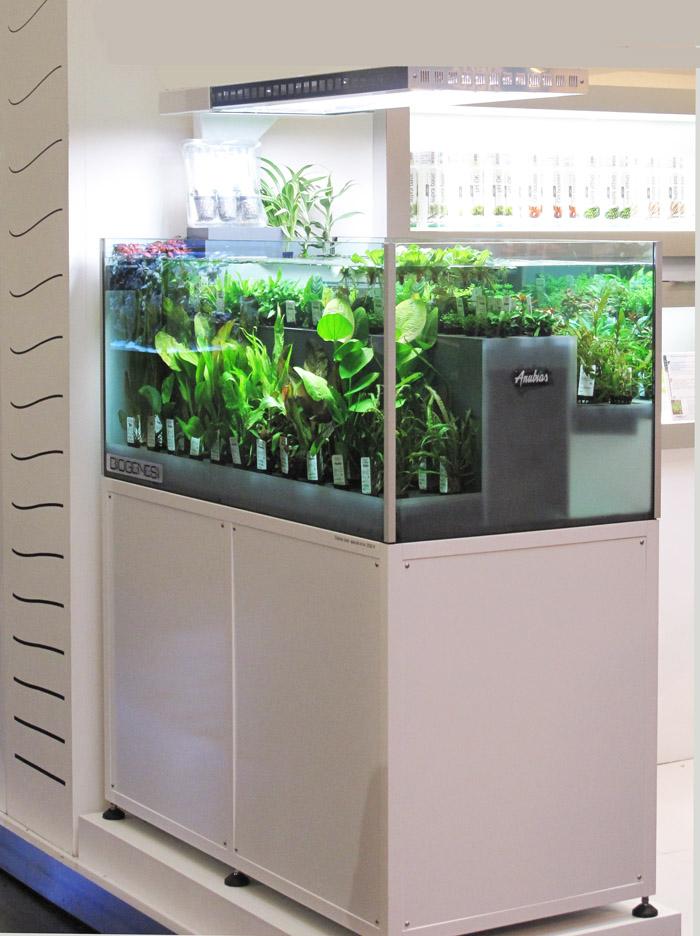 Piante Da Appartamento Per Acquario.Biogenesi Per Non Gettare Le Piante In Vasca Anubias Piante D