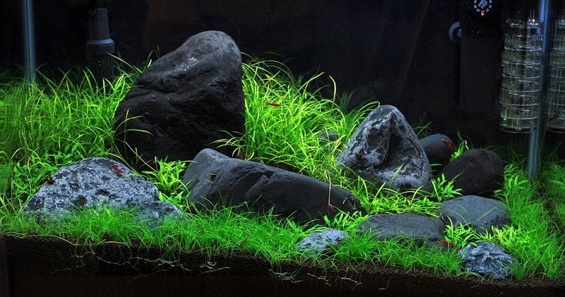 Eleocharis parvula un papiro nano in acquario anubias for Piante da acquario
