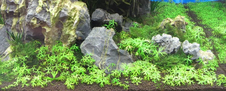 Piante Alte Acquario : Ranunculus papulentus anubias piante d acquario